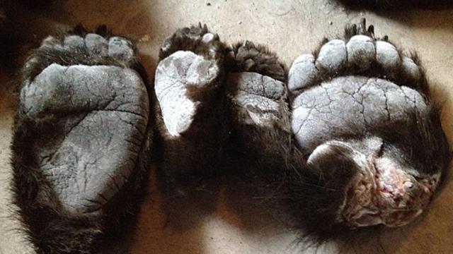 pata de urso 2
