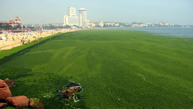 Algae carpets a beach in Qingdao, China